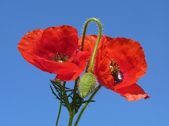 Red Poppies (Luigi Strano) Tags: flowers flores fleurs flor blumen poppies wildflowers papaveri flori