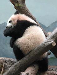 such cuteness (bob2cleo) Tags: bear cub panda po endangered zooatlanta lunyangs antarcticapart2andpo