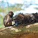 Baby baboon picking flies from its mother