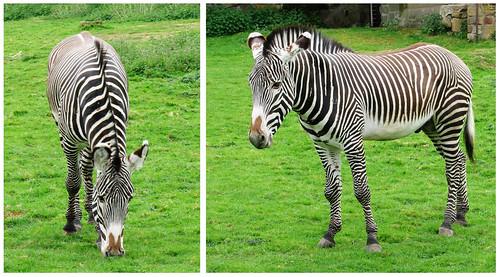 Zebra diptych by Helen in Wales