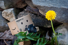 day 97- The photographer stalks his prey (Pat_Landor) Tags: camera flower yellow project daddy 50mm nikon photographer 365 danbo d5000