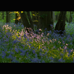 Day 112 365 2011 (*sarah b*) Tags: bluebells 365 cely 2011 deepinthewoods 2011th35