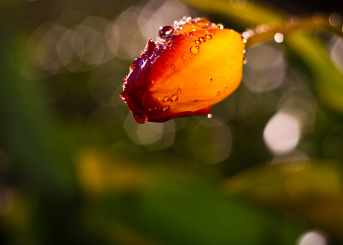 Night Tulip #2