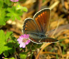 Plebejus argus (finieddu) Tags: sardegna fauna plebejusargus floraefaunadellasardegna