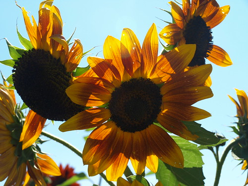 Annual sunflowers are now grown in New Jersey by local farmers to supply NJ Audubon's annual birdseed sale. Sale proceeds support wildlife conservation education and research.
