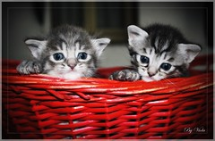 Kittens  (Viola & Cats =^..^= (+OFF-ON )) Tags: cats kittens felini gatti gattini