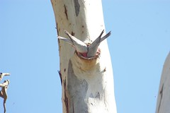 IMGP2235 Bottoms Up (River Dweller) Tags: pink white tree grey holidays feather southaustralia nesting galahs roseate wildbirds