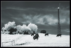 Infrared Cows (edpuskas) Tags: california blackandwhite bw cows infrared walnutcreek mountdiablo convertedir