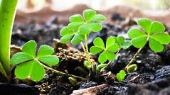 HEART SHAPES (srsyrus) Tags: life plant macro green love garden kid dof tiny goluncherlogo