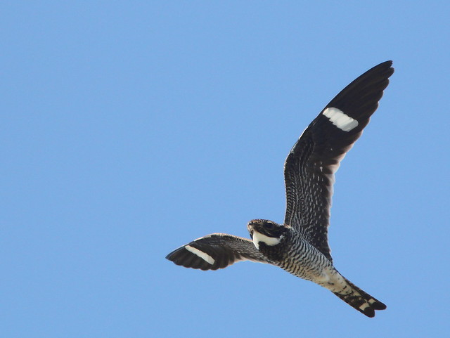 Common Nighthawk 2-20110501