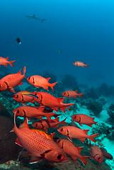 bssoldier4640pw (gerb) Tags: red fish topv111 510fav shark nice topv555 topv333 underwater lovely1 topv999 scuba loveit topv777 d200 palau fins tvp soldierfish aquatica 105mmf28gfisheye