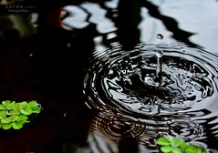The green leaf and The water drop  ~        ... (Z A Y A N) Tags: stilllife black reflection green nature water leaves rain canon leaf waterdrop ripple raindrops droplet dhaka dslr waterdrops bangladesh raindrop greenleaf watersplash 2011 zayan 550d waterripples canoneos550d canoneosrebelt2i rebelt2i kissx4 canoneoskissx4 zayan1904 gettyimagesbangladeshq12012