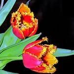 colourful fringed tulips c thumbnail