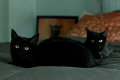 Violet & Carbon (Kilkennycat) Tags: cats black canon chat noir kitty kittens le bombay kitties 50mm18 500d t1i