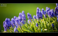 Muscari (GWD Photography) Tags: blue light plant flower detail macro green nature grass closeup canon outdoors eos is dof purple zoom bokeh pennsylvania depthoffield telephoto gordon l 5d markii grapehyacinth 100400 gwdphotography