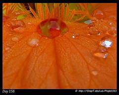 Into The Mouth (of a Nasturtium Flower) (Riquochet) Tags: flowers orange nature petals tropaeolum nasturtium