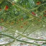 Tomate culture sous serre à Plouguiel (1)