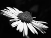 . (ant_sk) Tags: bw white black flower macro monochrome up four lumix 50mm petals close micro daisy om f28 thirds g1sigma
