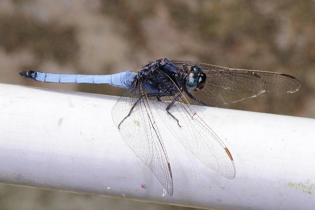 金黃蜻蜓(雄) Orthetrum glaucum