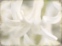 04-20-11 garden 3 (The Shutterbug Eye) Tags: flowers white painterly abstract macro art texture garden photo spring nikon artistic fineart picture photograph hyacinth d90 dianemiller theshutterbugeye dkmiller napervillephotography