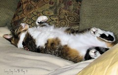 Rainy Day Tre~ (texym11-in and out :)) Tags: sleeping cat chat tabby gato cannon adopted tre loved katzen rescued tomcat familypet fiv catmoments threelegcat