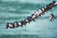 Seemingly Surreal Swallows in a Spring Snowstorm (kdee64) Tags: river spring snowstorm may yukon torpor yukonriver huddling treeswallow tachycinetabicolor migratorybird freezingtemperatures coldweathercopingstrategies