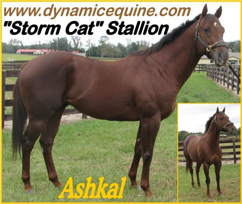 Strikingly Awesome, Well Bred & Conformed Storm CAT SON