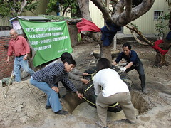 老樹移植需要細心處理。 圖片來源:江慶洲