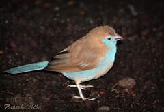 Blue-breasted Cordon-bleu (albanatasha) Tags: canada bird birds niagarafalls niagara redcheekedcordonbleu bluebreastedcordonbleu niagarafallsaviary birdkingdom birdskingdom