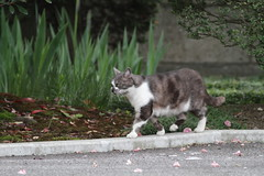 It's nice day for walking (Takashi(aes256)) Tags: pet animal cat walking   miyako   canonef400mmf56lusm canoneos7d