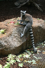 Lemur mit Futter
