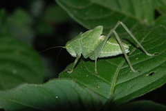 Katydid, Santa Elena, Costa Rica (Damon Tighe) Tags: cloud costa night america forest insect central rica latin monteverde cloudforest katydid