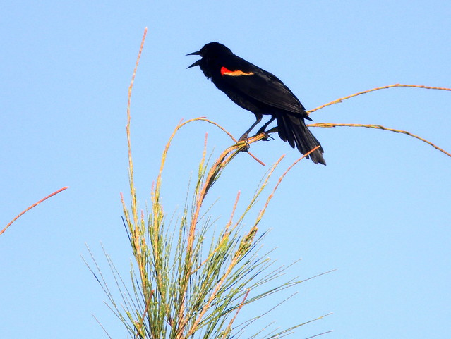 Red-winged Blackbird 20110529