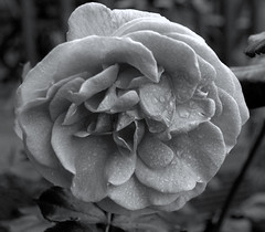 Rose B&W (GemElle Photography - off & on sorry) Tags: pink flowers blue white black flower green nature grass sepia garden grey mono nikon purple natural elle monotone petal negative gem d3100 gemelle1