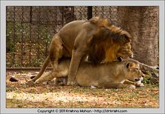 Mating Lions (drkrishi) Tags: asia asiaticlion carnivora chordata felidae india karnataka leoleogoojratensis leoleopersicus lion mammalia mysore mysorezoo panthera pantheraleo pantheraleopersica srichamarajendrazoologicalgardens drkrishi drkrishicom zoo