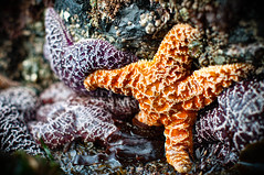 Lone Orange Starfish (`James Wheeler) Tags: ocean life travel red sea orange fish color nature water ecology colors animal animals coral rock stone closeup outside outdoors star coast living marine rocks colorful underwater close purple arms natural pacific legs starfish many background live gorgeous tide group dive salt rocky wave diving lagoon coastal anemone coastline alive aquatic reef creature habitat maldives biology attached tidepools tentacles ecosystem barnicle watersurface