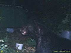 (pineski) Tags: bear dumpster garbage vermont wildlife raccoon vt bethel trailcam