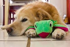 4-5-11 (mkrumm1023) Tags: dog goldenretriever friend turtle