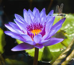 Dragonfly And Water Lily (nailbender) Tags: flower nature water waterlily dragonfly lilypad botanicalgardens nailbender