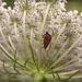 Chinche itálica (Graphosoma lineatum. Linnaeus, 1758)