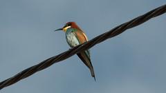 JRLD-20110617_12642 (XoseMon) Tags: spain aves zaragoza animales aragón abejaruco aragn