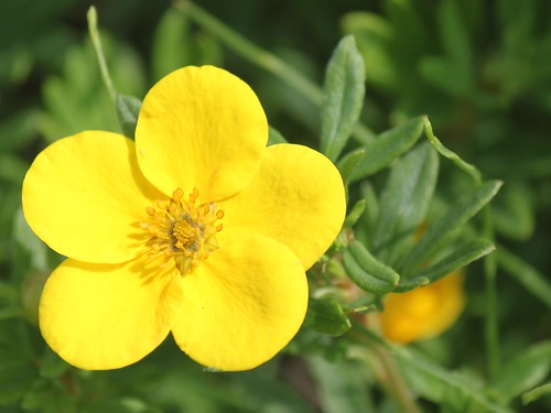 Potentilla Close-up