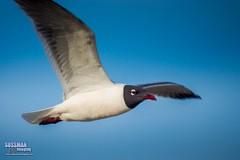 Black-headed gull (The Suss-Man (Mike)) Tags: bird beach nature animal georgia tybeeisland savannah blackheadedgull chathamcounty thesussman sonyalphadslra550 sussmanimaging