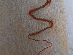 Scribbly gum bark (jo.elphick) Tags: burrill lake nsw australia