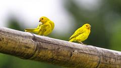 yellow   ( In Explore) (JOMAGACOL) Tags: bird aves pajaros color vida encanto birding red green blue silvestre jomaga pentaxk1 valledelcauca tulu libertad life