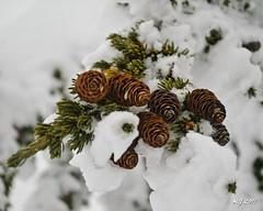 Cold Pinecones 2 (Michael Garson) Tags: winter snow canada cold tree pine nikon branch needles pinecones