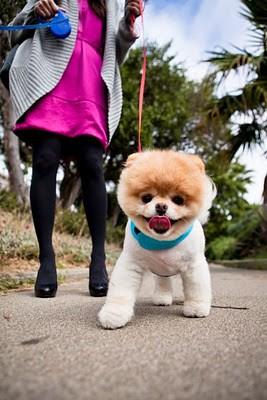 boo_Pomeranian_Dog_38