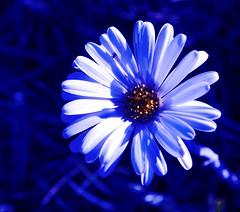 Snow Daisy (Celmisia sp.) (phunnyfotos) Tags: daisies nikon australia victoria alpine daisy wildflowers d60 alpinenationalpark northeastvictoria nikond60 mountloch snowdaisy mtloch phunnyfotos