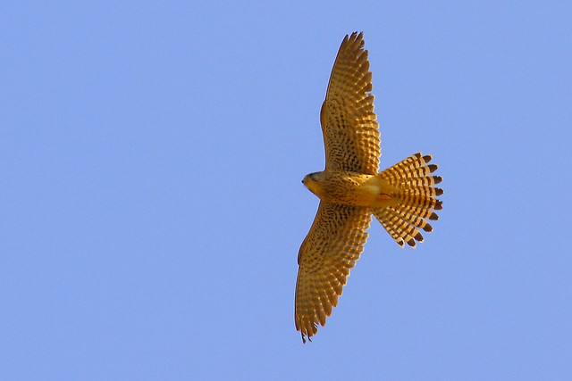 2011_02_13_016409_common_kestrel_flight_crop