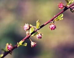 Diagonal (ms holmes) Tags: pink blossom rosa depthoffield diagonal bloom blten shallowdof canoneos1000d